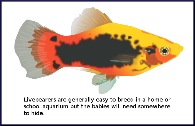 Guppies Swordtails Mollies And Platies Are Called Livebearers Because Their Babies Come Out Of The Mother Fish Already Swimming Around